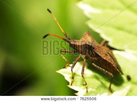 Shieldbug on a leaf