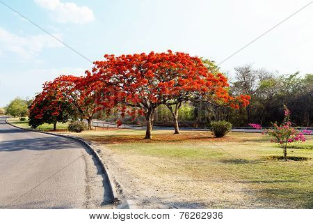 Delonix Regia (flamboyant) Tree With Blue Sky.