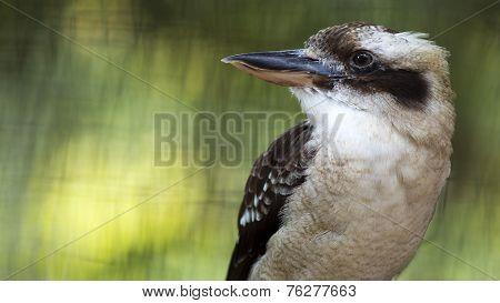 laughing kookaburra portrait