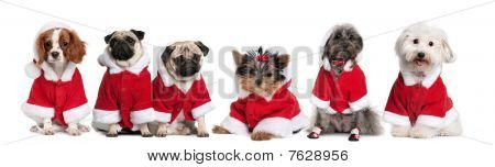Group Of Dogs Dressed As Santa Claus In Front Of White Background