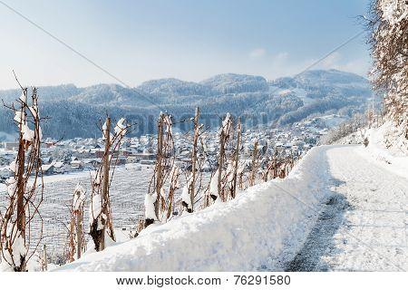 vineyard in winter landscape