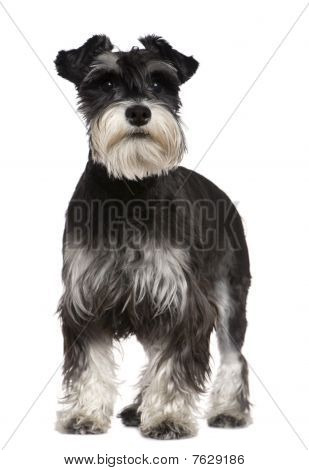 Miniature Schnauzer, 10 Months Old, Standing In Front Of White Background
