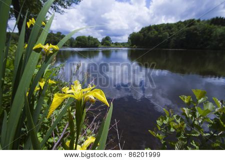 Wild Yellow Iris In Vosges Lake,  France