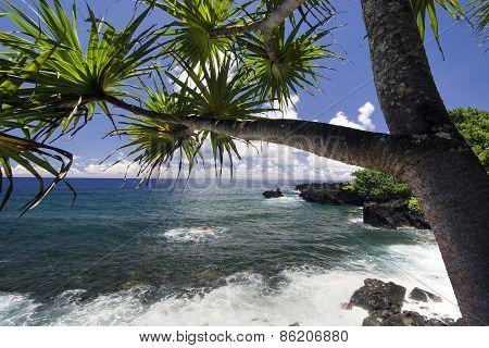 Palm tree on the northern coastline, on road to Hana, Maui, Hawaii