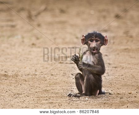 baby baboon at kruger national park