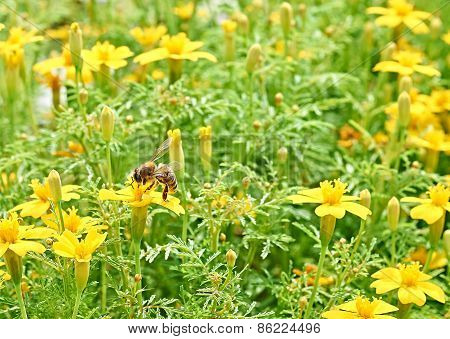 Bee In The Meadow With Yellow Flowers. Close Up