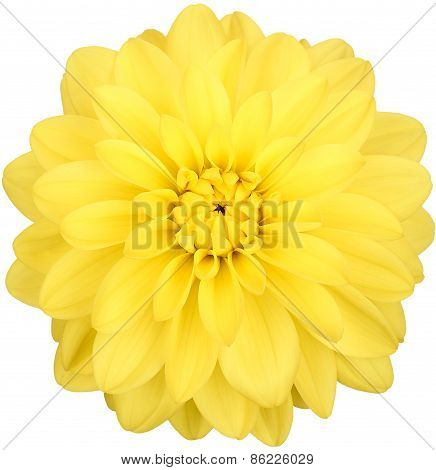 Dahlia, Yellow Colored Flower Head On White Background