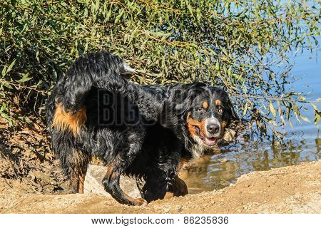 Swiss Bernese Mountain Dog (bernese Sennenhund) Playing In The Water