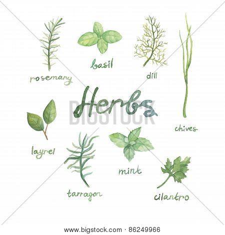watercolor herbs