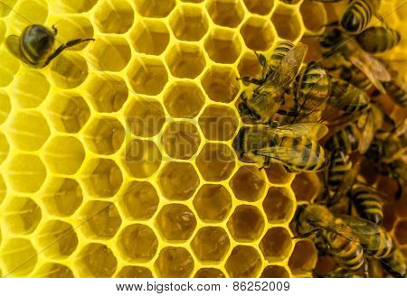 Bees at work. Bees on honeycomb.