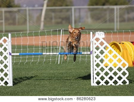 A Golden Retriever jumping over a pole in agility poster