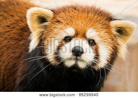 Red Panda X