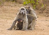 family of baboons sitting on the riverbank, Kruger, South Africa poster