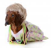 female dog - miniature dachshund wearing wig and clothing on white background poster
