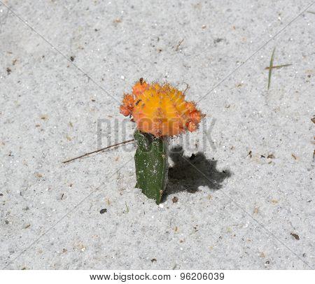 Yellow Top Cactus