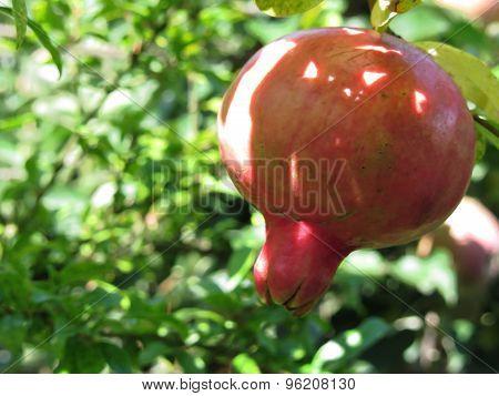 Pomegranate Hanging On Tree