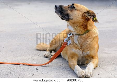 Dog From Shelter During Walking