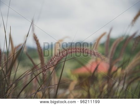 Poaceae Grass Flower Blowing In The Wind Motion Blur