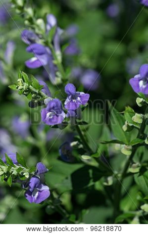 Blooming Blue Lobelia