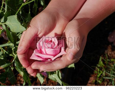 Closeup Of Dirty Childs Hands Holding Pink Rose In Garden