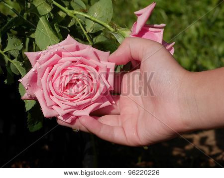 Closeup Of Childs Hands Holding Pink Rose In Garden