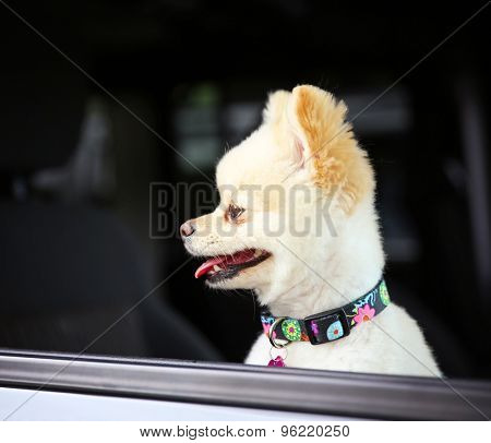 a cute pomeranian puppy dog that has been groomed sitting in a car looking out the window waiting for her owner with a pretty collar and tag on