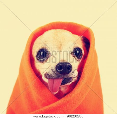 a cute chihuahua with his tongue hanging out and a blanket wrapped around him isolated on a while background in the studio toned with a retro vintage instagram filter effect app or action