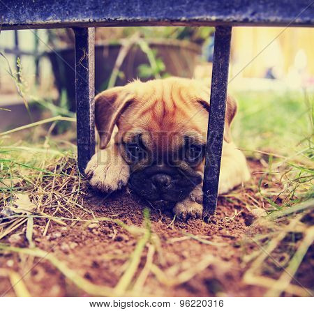 a cute pug chihuahua mix puppy - chug, digging in the dirt under a wrought iron fence in a backyard  poster