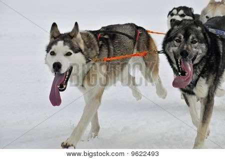 Racing Huskies