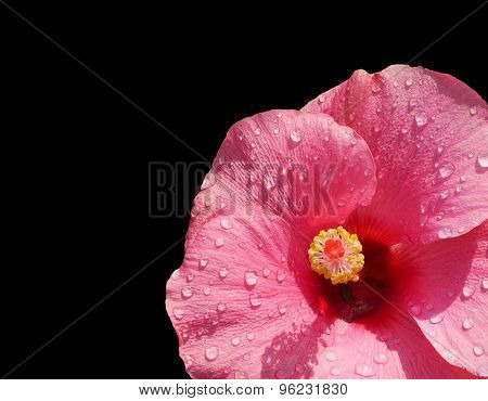 Close-up Of Pink Hibiscus In Corner Isolated On Black
