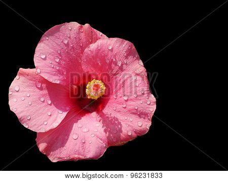 Pink Hibiscus Isolated On Black
