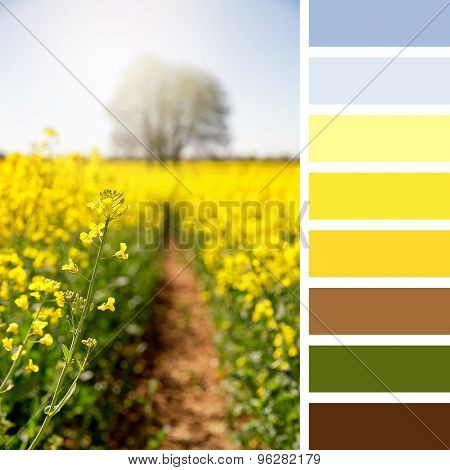 Vibrant yellow rapeseed flowers in a meadow, Hampshire, UK. In a colour palette with complimentary colour swatches.