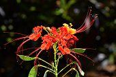 Pride of Barbados Latin name Caesalpinia pulcherrima poster