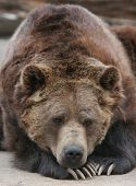 Brown bear resting, lying on it's front paws with claws shown. poster