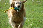 running golden retriever fetches its favorite toy poster
