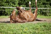 Horse lay on back and having fun to roll in sand poster