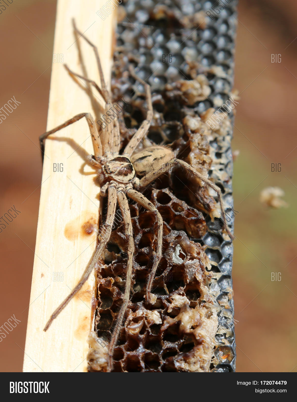 Cane Spider Aka Image Photo Free Trial Bigstock