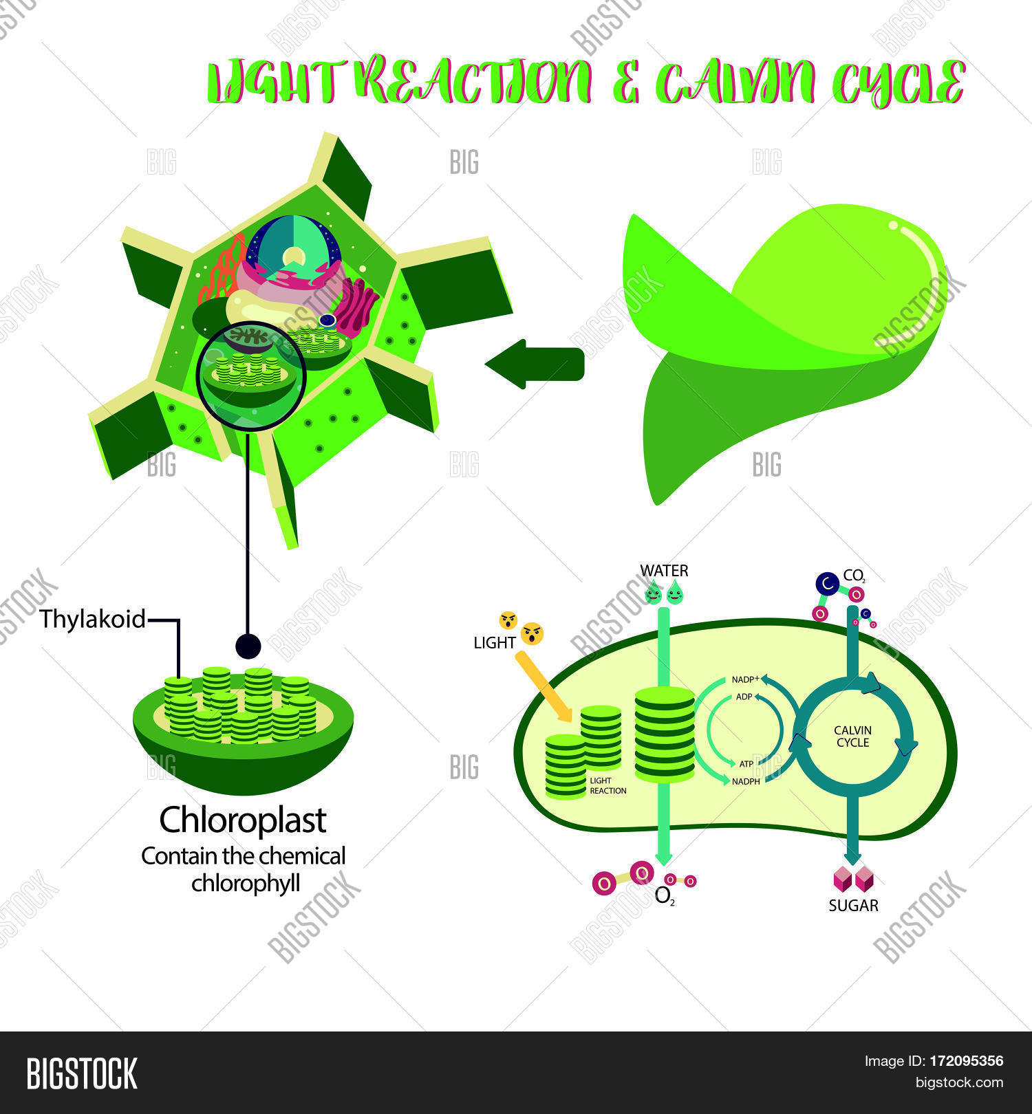 Photosynthesis Plant Vector Photo Free Trial Bigstock