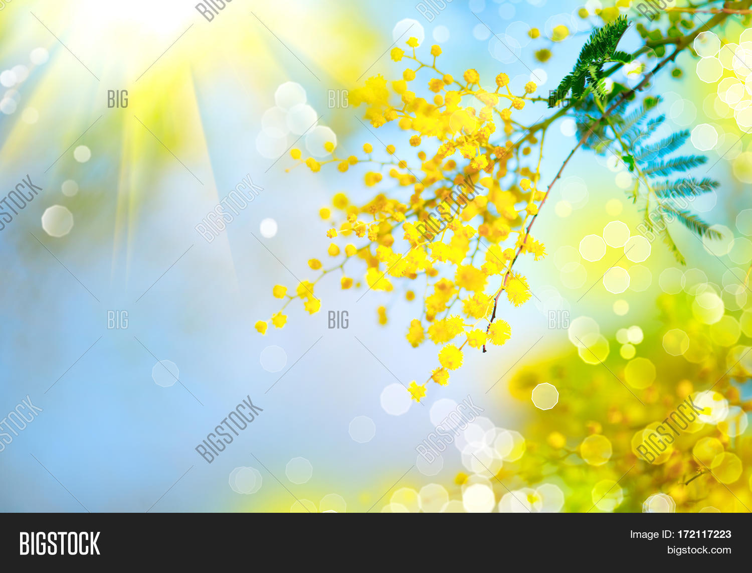 Mimosa Spring Flowers Image Photo Free Trial Bigstock
