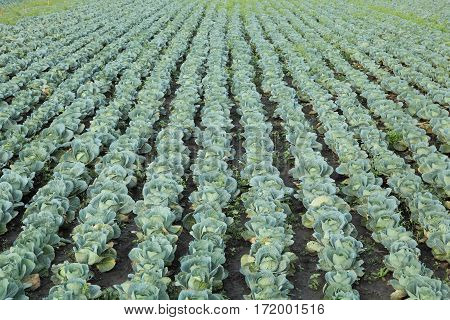 Organic cabbage field in autumn ready for harvest