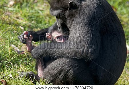 Chimpansee Mother And Baby