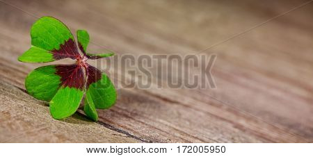 clover with four leaves on wooden table close up