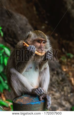 Funny Monkey eating fruit at Tiger Cave Temple Krabi Thailand