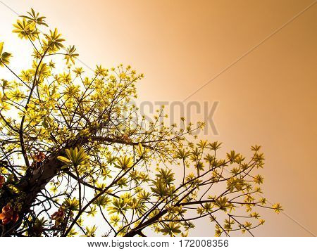 freshness leaves of cannonball tree on sky and sunlight background