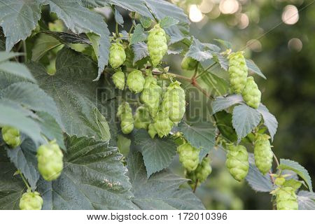 Close up of hop umbels on a plant
