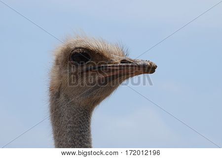 Ostrich with his beak firmly closed shut.