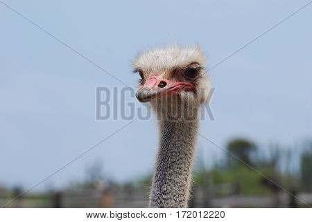 Long necked ostrich bird with a soft look due to his feathering.