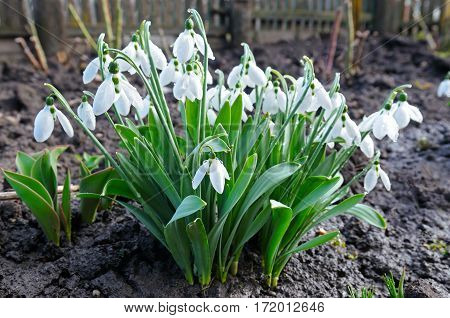 Spring snowdrop flowers against a background of black soil. Focus on the foreground. Shallow depth of field.