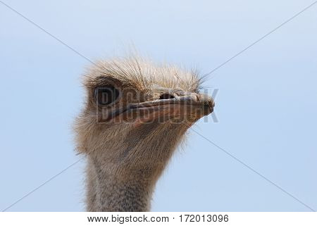 Ostrich with feathers sticking up around his eyes.