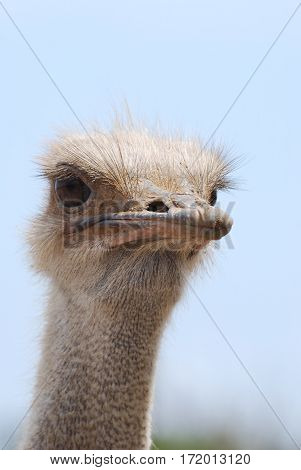 Great view of the face of a common ostrich in Aruba.